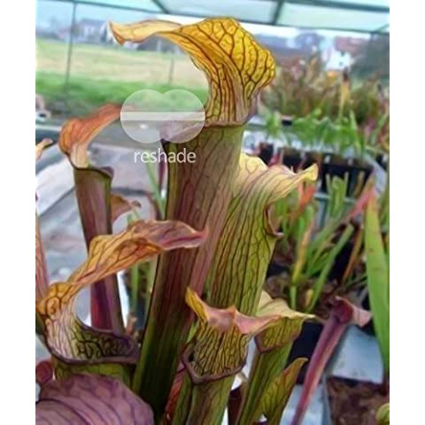 Sarracenia rubra ssp. rubra - Sarracena, Planta de jarra Norteamericana, Plantas trompeta, Cuerno de caza - 10