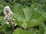 Wasserpflanzen Wolff - Petasites hybridus - Pestwurz, rosa