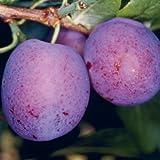 Tree Seeds online-Pesca, pera, Damson. Ciliegia e selvaggio ciliegia Collection, Lot de 5