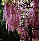 GEOPONICS 20 Viola Moonflower Semi notte splendida fioritura Bella decorazione giardino della casa del fiore