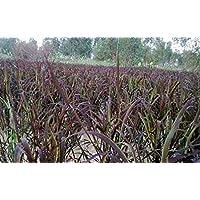 PLAT FIRM SEMILLAS DE GERMINACION: ¡NUEVO!500 semillas de arroz negro artículo raro buen arroz ribery Tailandia