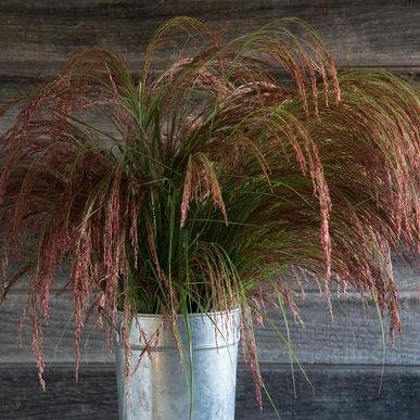 Ruby Silk Ornamental Grass Seeds (Eragrostis tef) 30+ Rare Seeds + FREE Bonus 6 Variety Seed Pack - a $29.95 Value! Packed in FROZEN SEED CAPSULES for Growing Seeds Now or Saving Seeds For Years