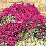 Fash Lady Rosa: Kletternde Blume 100 Aubrieta Samen-Kaskade-lila Blumen-Samen, großartige mehrjährige Bodendecker-blühende Anlagen für Hausgarten