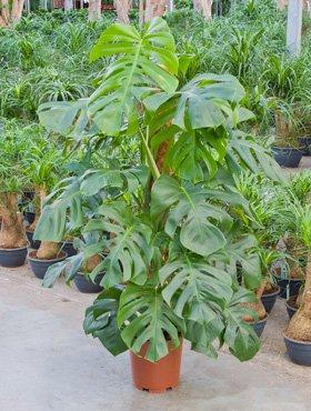 Philodendron pertusem monstera, Baumfreund, ca. 105 cm, Kletterpflanze, 24 cm Topf (Monstera Pflanze)