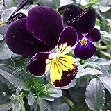 Portal Cool Viola Tricolor 800 Semi Johnny Jump Up Love-in-Ozio Fiore stabilimento europeo