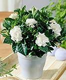 PlantaZee Jasmine Live Flower Plant Indoor/Outdoor