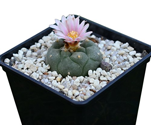 Lophophora williamsii Peyote ab 3,5cm