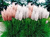 Portal Cool Rot: 500 Stück Heirloomsamen Seltene Vielzahl von Farben Pampas-Gras Zierpflanze F
