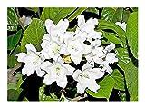 Beaumontia grandiflora - Heroldstrompete - Bougainvillea - 5 Samen