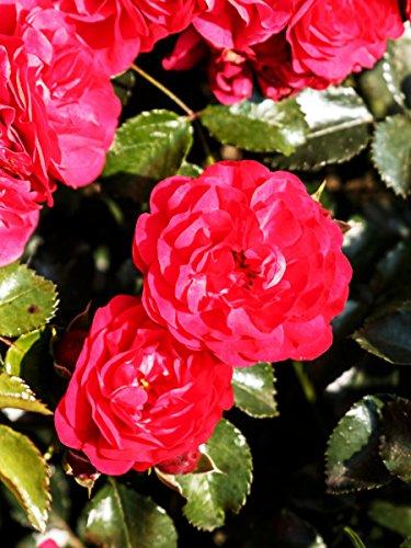 Rose Gärtnerfreude ® Wurzelware Qualität A - himbeerrote Blüten - floranza®