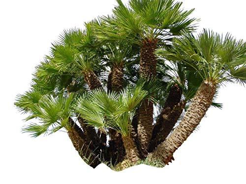 10 Samen Zwerg-Dattelpalme -Phoenix roebelinii- -Tolle Zimmerpflanze-