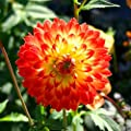 Schmuckdahlie Procyon von Meingartenshop bei Du und dein Garten