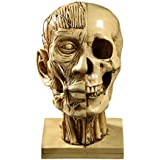 Awakingdemi Human Head Resin Medical Model Skull Statue Sculpture Home Decorative Craft 240.00 * 130.00 * 130.00mm As Picture Show