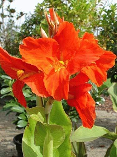 Shoopy Star Commun Laiteron 500 graines: paquet de détail coloré économique NON OGM image Jardin Jardin Graines de légumes