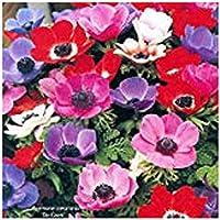 Anemone coronaria De Caen - 20 flower bulbs