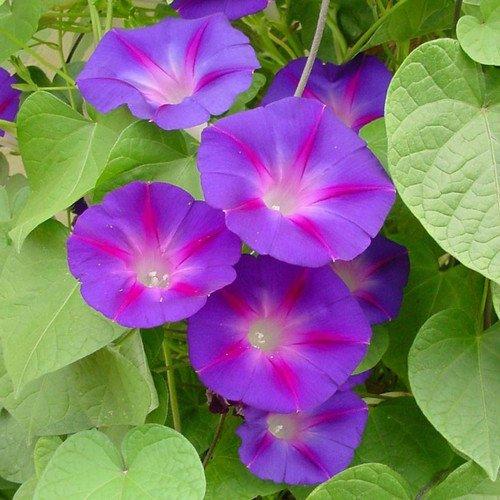 Morning Glory Climber (Plant World Seeds - Ipomoea 'Grandpa Ott's' Seeds)