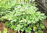 Baldrian-Samen - Valeriana officinalis - 280 samen
