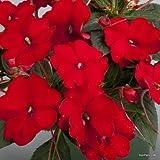 SunPatiens® Compact Red