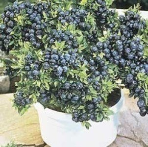 Zwerg Heidelbeere 15 Samen - süß, große Früchte auf kleine Pflanze (Blueberry Dwarf)