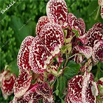 Prime Vista 100 Pz Bella Divertente Semi di Fiori Calceolaria Herbeohybrida Semi Indoor Bonsai Pianta Balcone Cortile Terrazza Pianta In Vaso 12