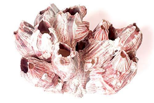 HERUK Naturals Barnacle Cluster Muscheln echte natürliche Muscheln Aquarium Ozean Felsen Muscheln Montessori Corals