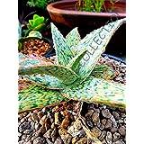 Portal Cool J Agave Healing planta medicinal Succulent Rare Aloe verde de la arena de Semillas