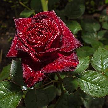 Yougarden 3 530317 Rose Black Baccara Bare Root Bush Multi Colour