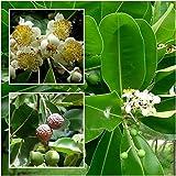 PLAT FIRM GERMINATIONSAMEN: Calophyllum inophyllum 10 Samen, alexandrinischen Lorbeer balltree, Bornero Mahagoni