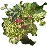 Salvadora Persica, Zahnbürstenbaum, Miswak, 10 Samen