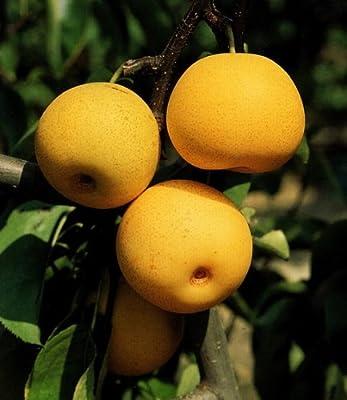 Nashi, Asiatische Säulen-Birne, 1 Pflanze von Dominik Gartenparadies auf Du und dein Garten