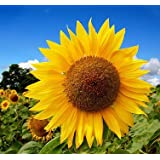 Go Green Sunflower Russian Giant Seeds (Pack of 50 seeds)