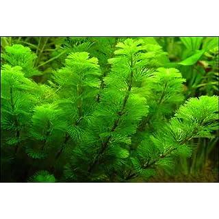 Lincolnshire Pond Plants Ltd Cabomba aquatica - Aquarium Plants