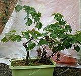 Shoopy Star 1: 20 PC/bag Gaint Thuja blau Zypresse Nadelbaum Baum Bonsai Samen Hausgarten P