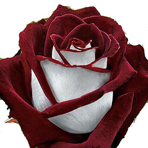 ZEARO 100 Pièces Décoratives Parfumées Fleur de Rose Bonsaï Graines Jolie Fleur Graines
