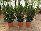 echter Gewürzlorbeer - Laurus nobilis 100-120 cm