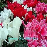 Grande vendita di vendita calda 7 colori può essere sceglie i semi di ciclamino semi di fiore perenne piante da fiore ciclamino Seeds - 100 PCS