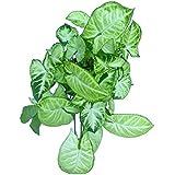 Root Bridges Lime & Lemon Syngonium Indoor Plant (Pot included)