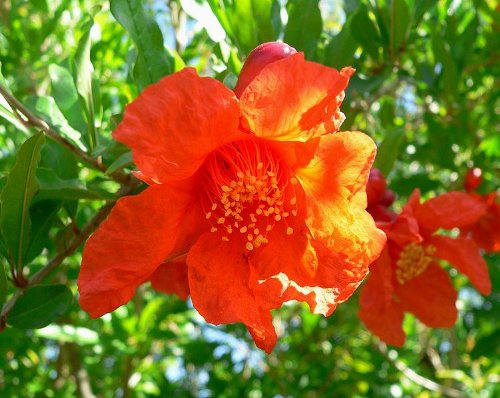 10 Samen punica granatum echter Granatapfel Grenadine