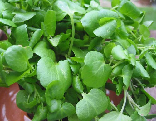 watercress-organic-05-gm-approx-2300-seeds