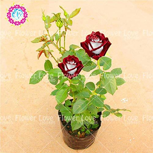 Shopmeeko Seeds: 100PCS / Bag Seltene Bonsai Blume Pflanze Chinese Rose Pflanze Liebhaber-Geschenk-Regenbogen-Rosen-Blumen Balkon Hausgarten: 6
