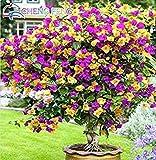 Mischung 50pcs-Farbe Bougainvillea spectabilis Willd Samen Schöne Bonsai-Blumen-Pflanzen-Samen Für Hausgarten