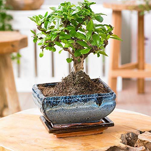 "Zimmer-Bonsai \""Carmona\"" in KugelformHöhe ca. 20-25 cm Topf-Ø 15 cm Bonsai"