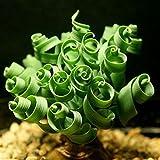 ESHOO 10 Stücke Albuca Namaquensis Spiral Grass Samen
