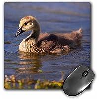 Danita Delimont - Geese - California, San Diego - Canada Gosling. - MousePad (mp_205991_1)