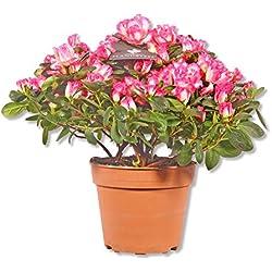 Azalee Azalea Rhododendron simsii