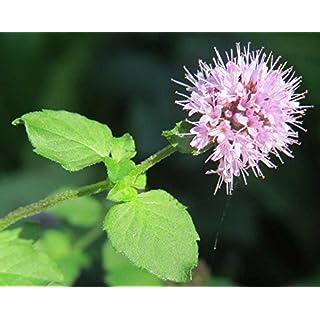 Mentha aquatica (Water Mint)-None-9 cm
