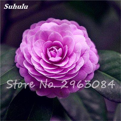 5 pièces rares Graines arc-en-Camellia fleurs, plantes en pot de bricolage, Lumière Parfumée intérieur Fleur, intérieur Bonsai planter des fleurs Semences 17