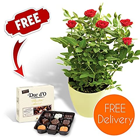 Fresh Flowers Delivered - Delivery Included - Potted Red Rose Bush with Chocolates and Flower Food - Bonus Ebook Guide - Perfect for birthdays, anniversaries and thank you gifts