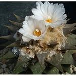 Ariocarpus retusus elongatus - 100 semi