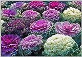 Portal Cool Zierkohl Mix - Brassica oleracea (50 Samen)